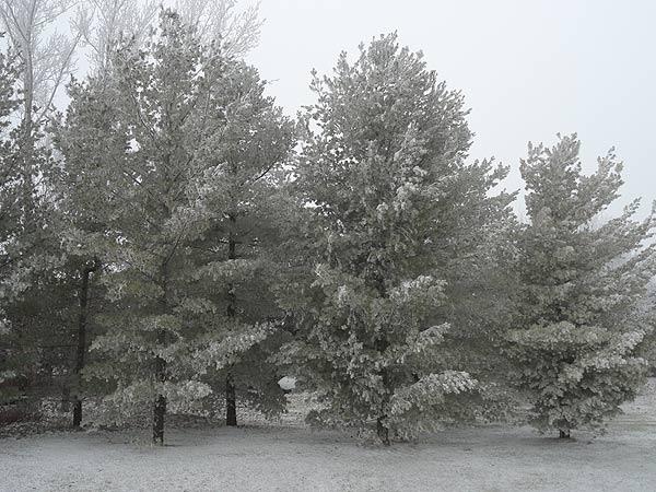 Dec1-2012Hoarfrost3